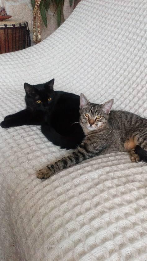 Obella, chatonne noire avec petite tache blanche, née le 01/05/2018 98710