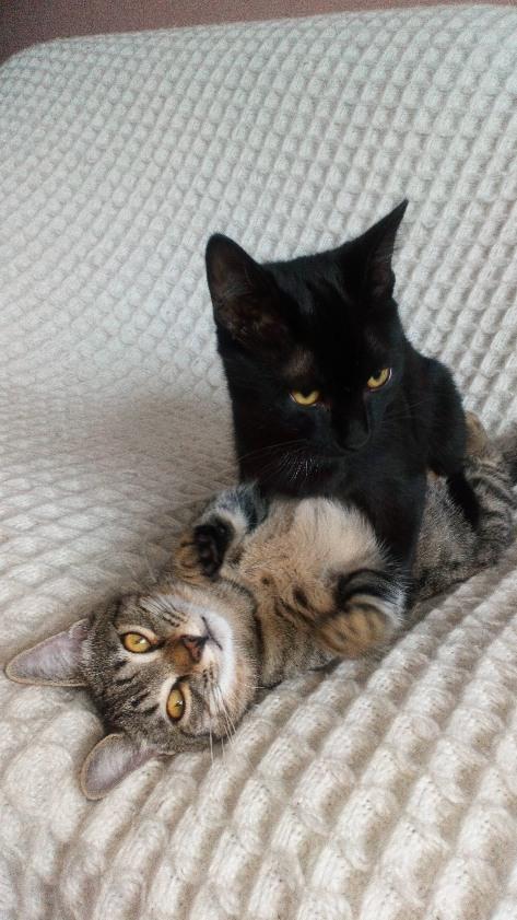Obella, chatonne noire avec petite tache blanche, née le 01/05/2018 99612