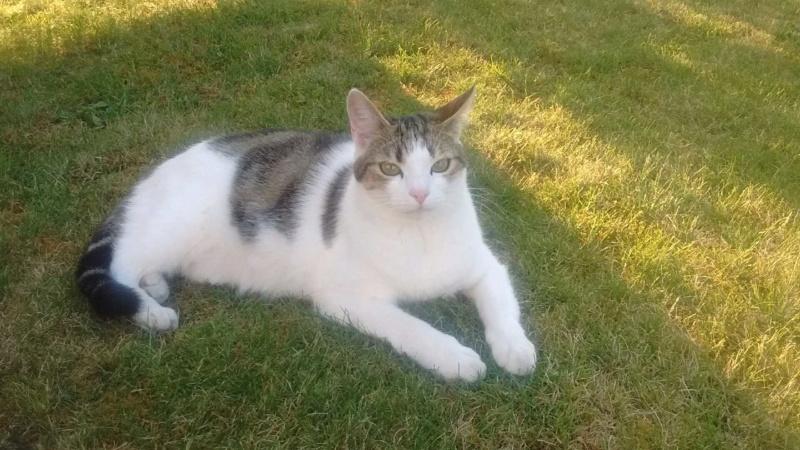 nenette - NENETTE, chatonne type européen, tigrée et blanche née le 15/04/17 Img_2014