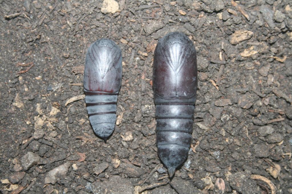 Brahmaea certhia : Le gothic métal dans les gènes !!! Femell10
