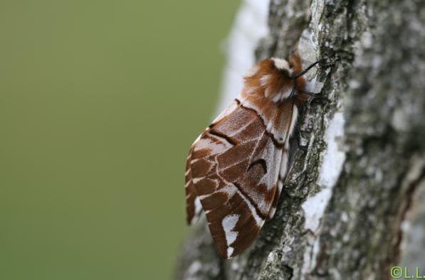 Le Bombyx versicolore (Endromis versicolora) Femlle10