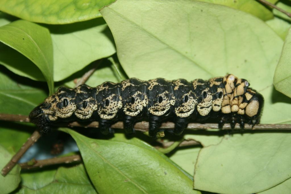 Brahmaea certhia : Le gothic métal dans les gènes !!! Img_1611
