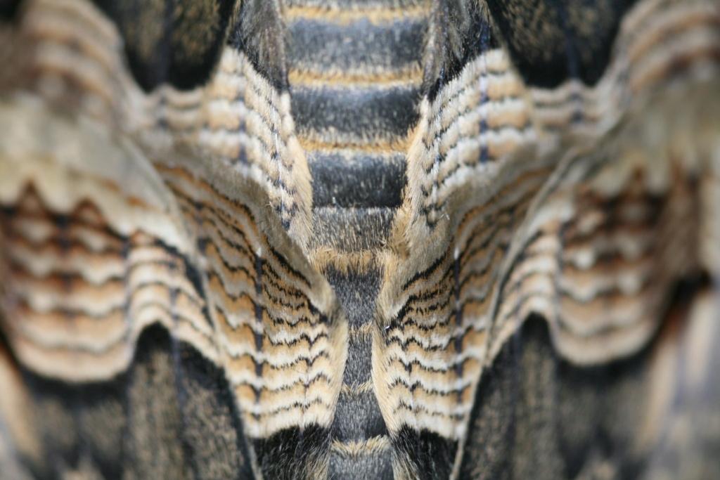 Brahmaea certhia : Le gothic métal dans les gènes !!! Img_1711