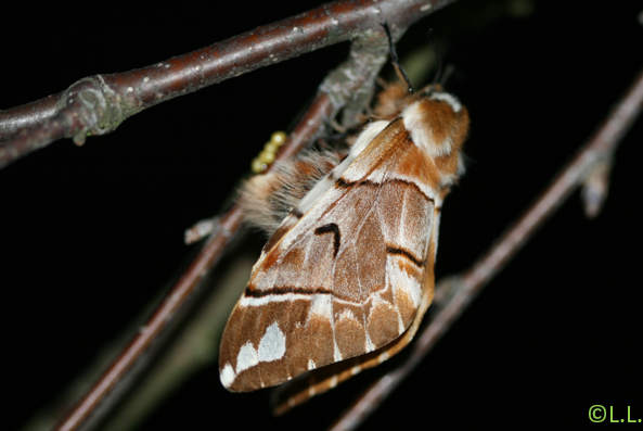 Le Bombyx versicolore (Endromis versicolora) Ponte_10