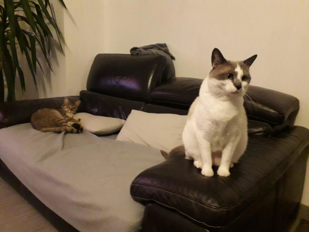 Orlan, chaton mâle brown tabby, né le 12.04.2018 Fia_412