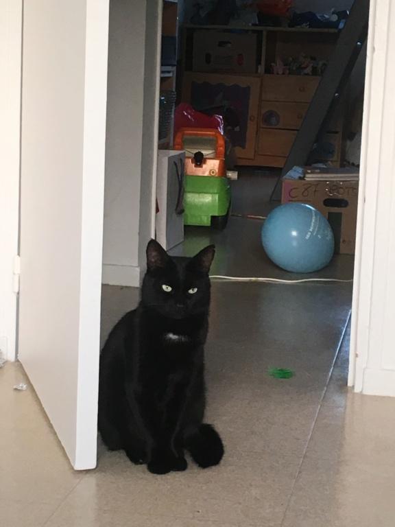 JUNGLE, mâle, noir, yeux verts, type européen, né le 9 Août 2014 Jungle13