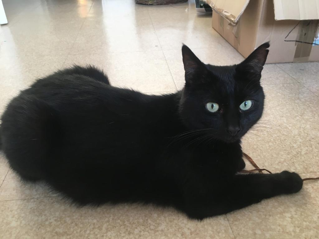 JUNGLE, mâle, noir, yeux verts, type européen, né le 9 Août 2014 Jungle16