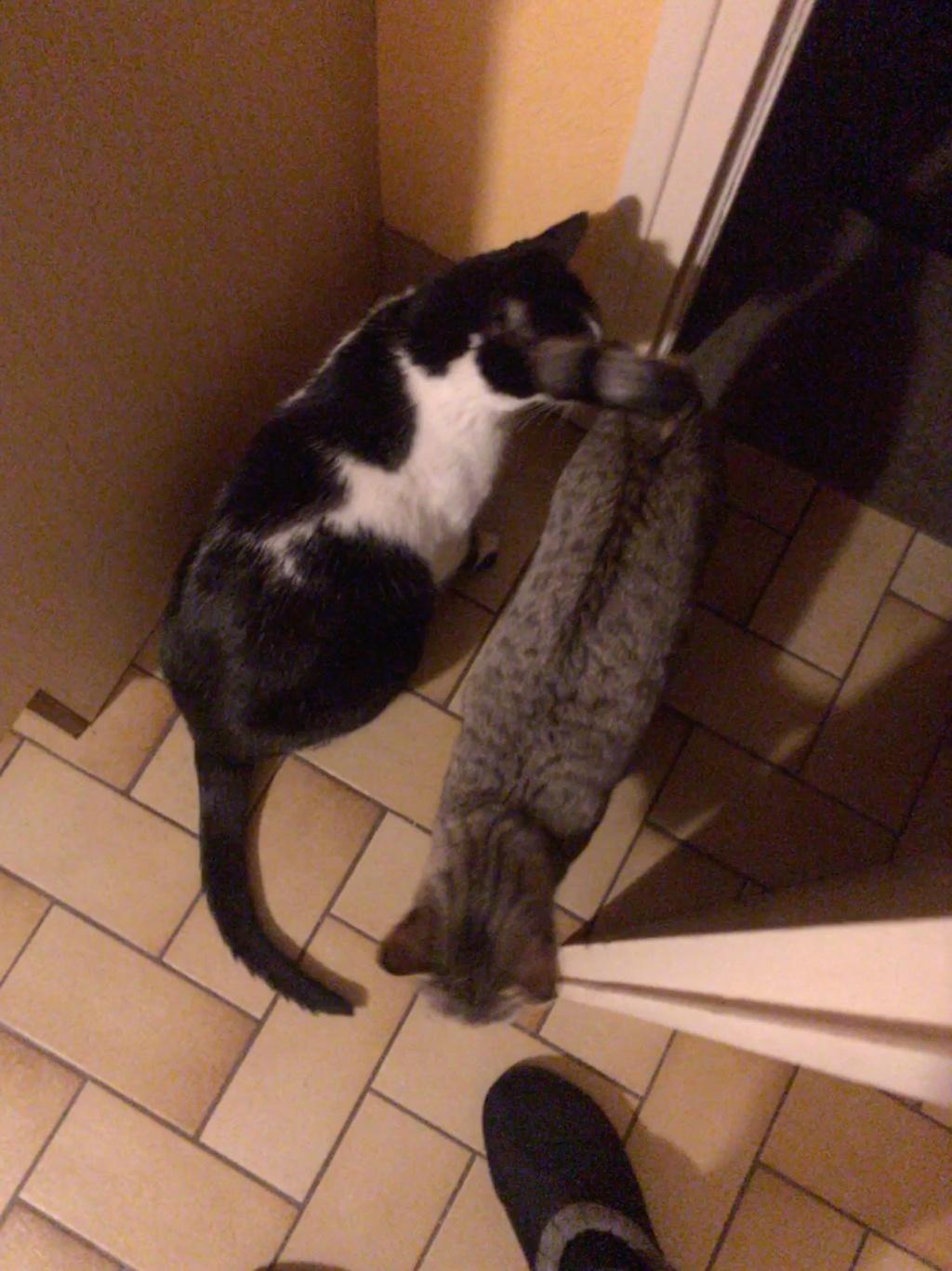 LALLIE, femelle grise Tabby, type Européenne, née le 19/09/2015 Lallie10