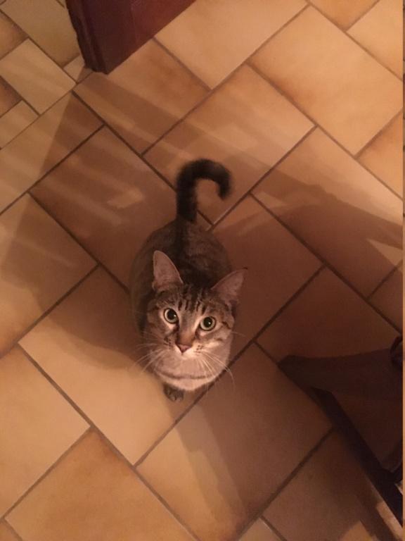 LALLIE, femelle grise Tabby, type Européenne, née le 19/09/2015 Lallie15