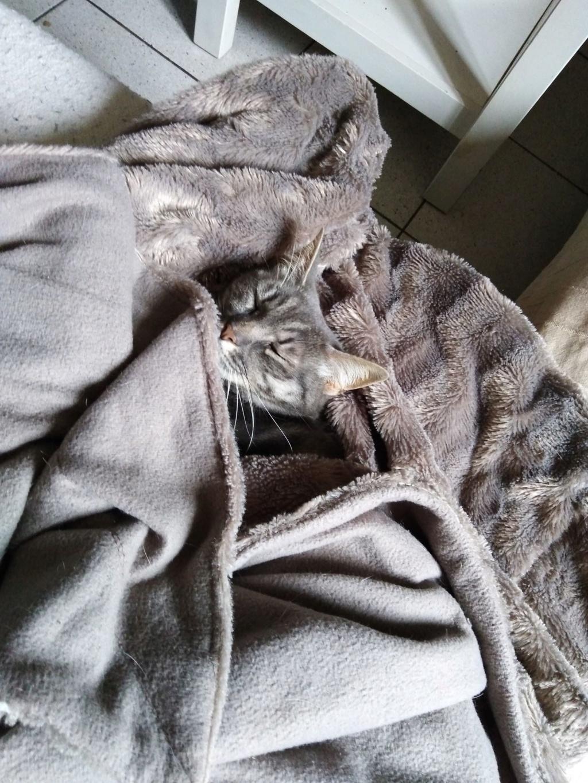 miss - MISS MARPLE, femelle européenne, tabby grise, née le 17/09/16 M210