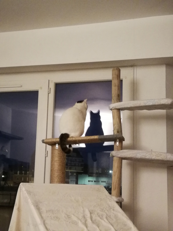 Mellie, femelle blanche grise tabby, chat européen née en juin 2016 Mellie13