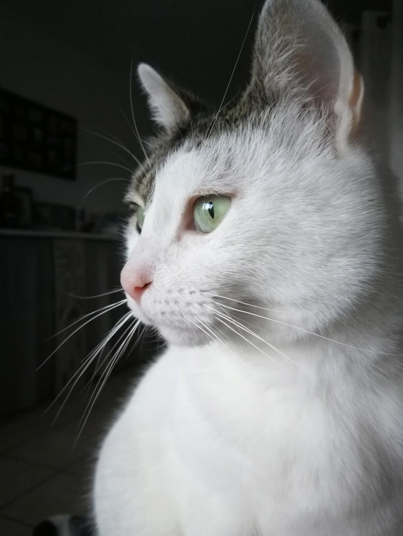 Mellie, femelle blanche grise tabby, chat européen née en juin 2016 Mellie14