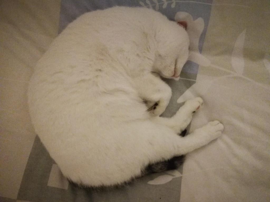 Mellie, femelle blanche grise tabby, chat européen née en juin 2016 Mellie15