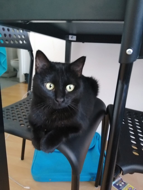 MIRABELLA jeune chatte noire née le 01/01/2017 Mira_110