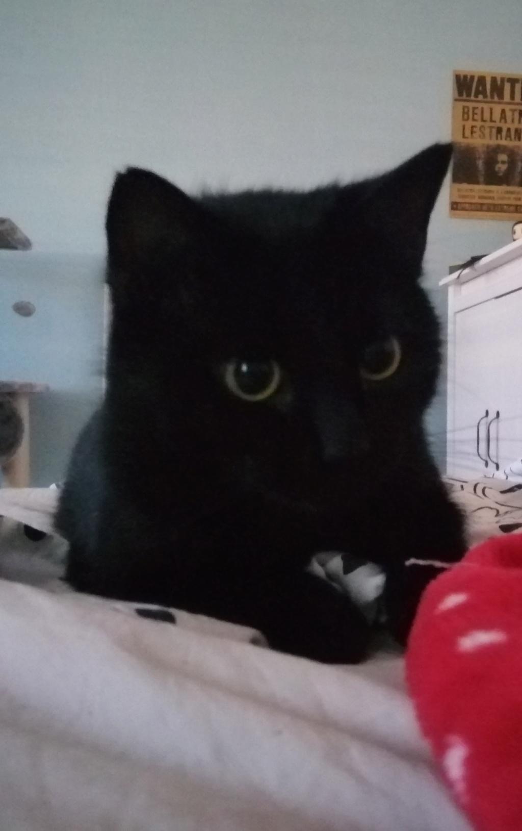 MIRABELLA jeune chatte noire née le 01/01/2017 Mira_210
