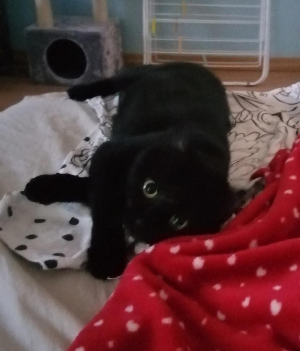MIRABELLA jeune chatte noire née le 01/01/2017 Mira_310