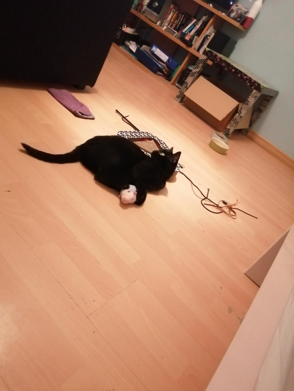 MIRABELLA jeune chatte noire née le 01/01/2017 Mira_410