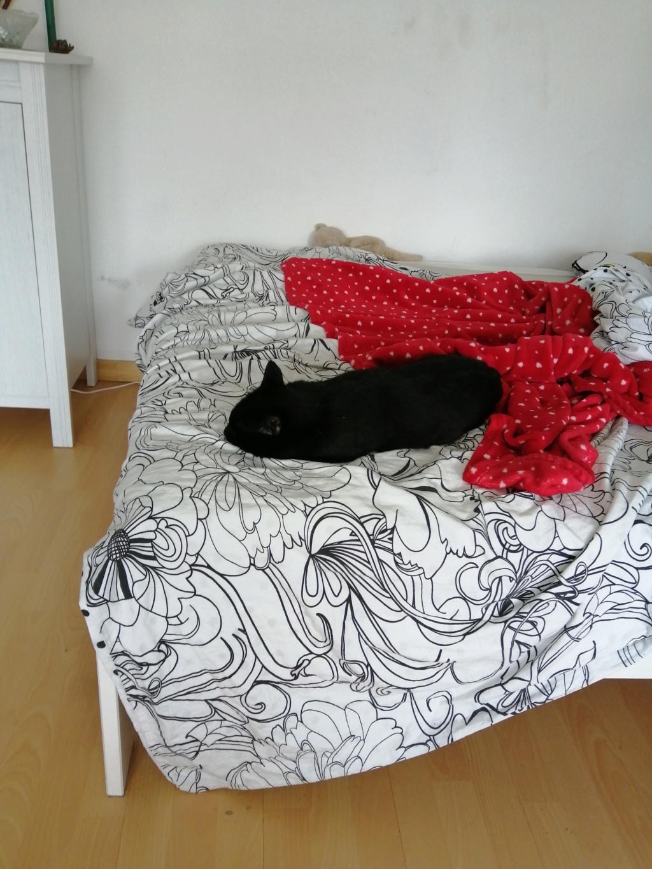MIRABELLA jeune chatte noire née le 01/01/2017 Mira_510