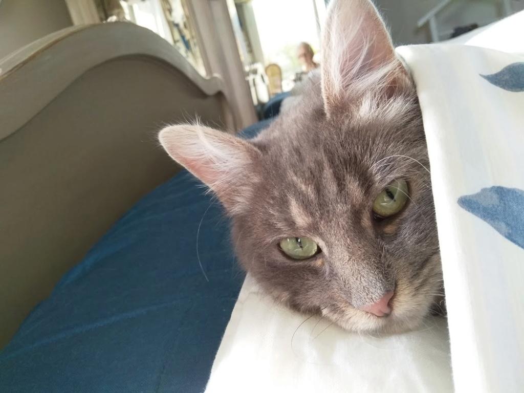 Newman, jeune mâle gris, légèrement tabby, poils longs, né en octobre 2017 Newman11