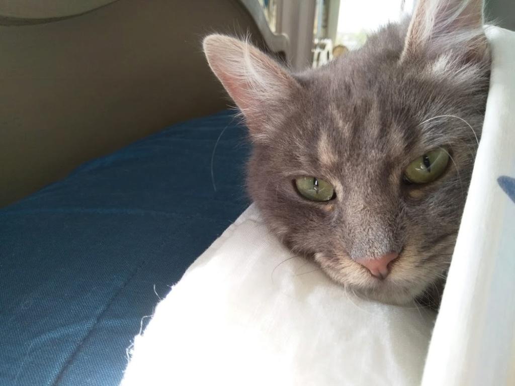 Newman, jeune mâle gris, légèrement tabby, poils longs, né en octobre 2017 Newman12