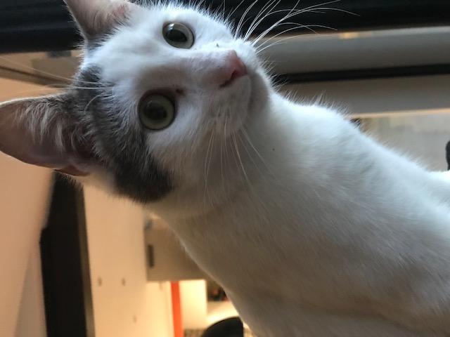 Ouaness, jeune chat gris et blanc né en novembre 2017 Oua310