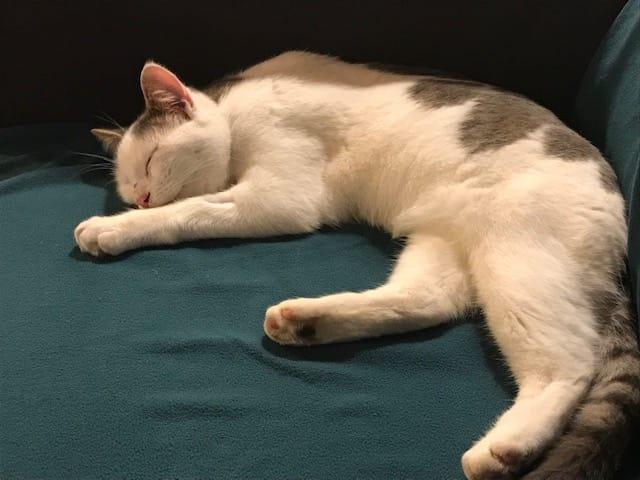 Ouaness, jeune chat gris et blanc né en novembre 2017 Ouanes10
