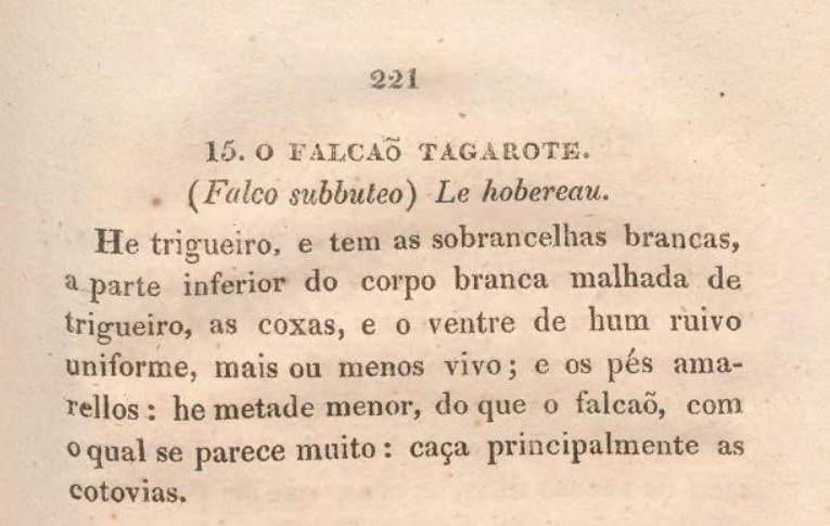 Falco subbuteo: falcão-tagarote ou ógea? - Página 2 Falcao10