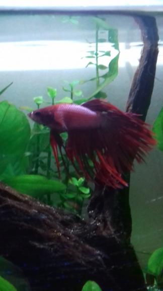 Betta qui a un gros ventre 20190210