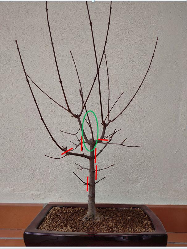 Ayudame a diseñar mi bonsai de arce palmatum Arce-110
