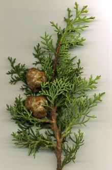 se me mueren los pinos Cipres11