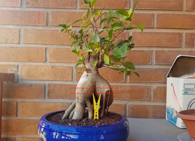 """Diseño para este """"ginseng""""? Ficus_10"""