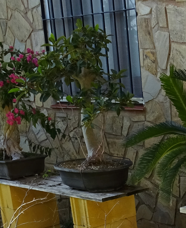 ENGORDE DE BONSAIS - Página 2 Ficus_11
