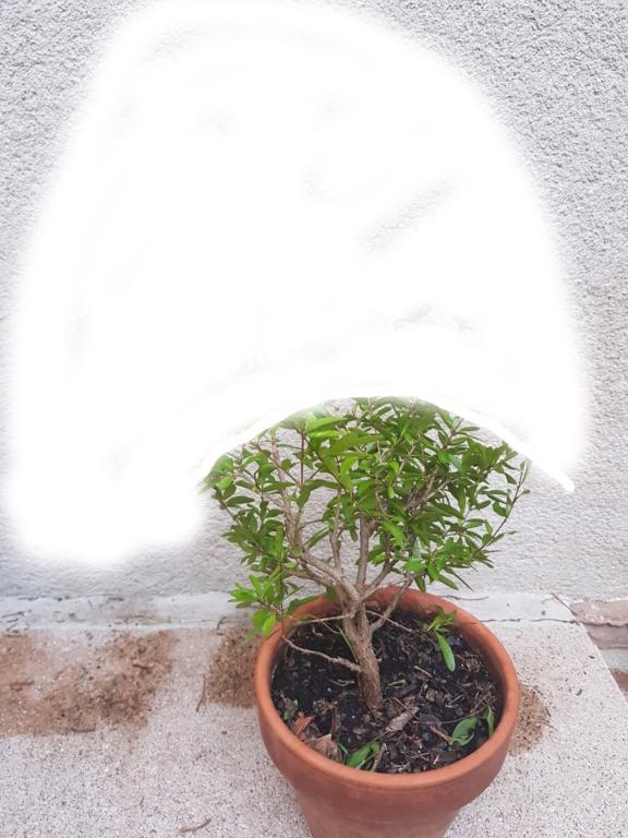 Nuevo bonsai granado Granad10