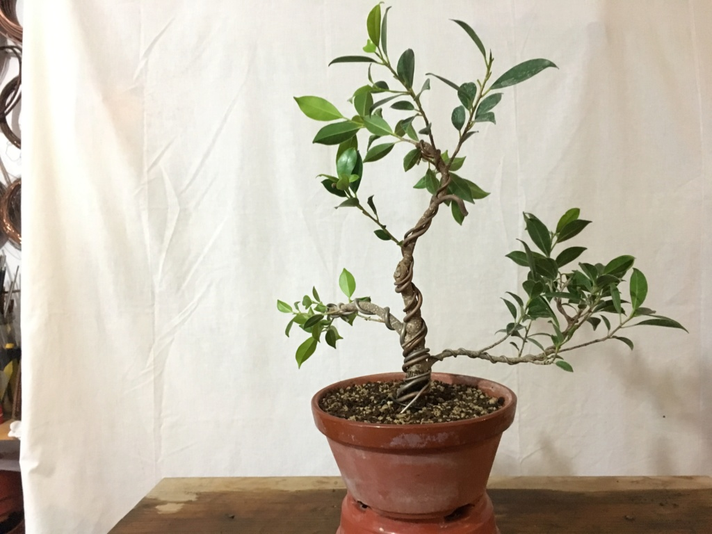 Ficus Retusa Microcarpa, ficus tiger bark - Página 4 Img_0011