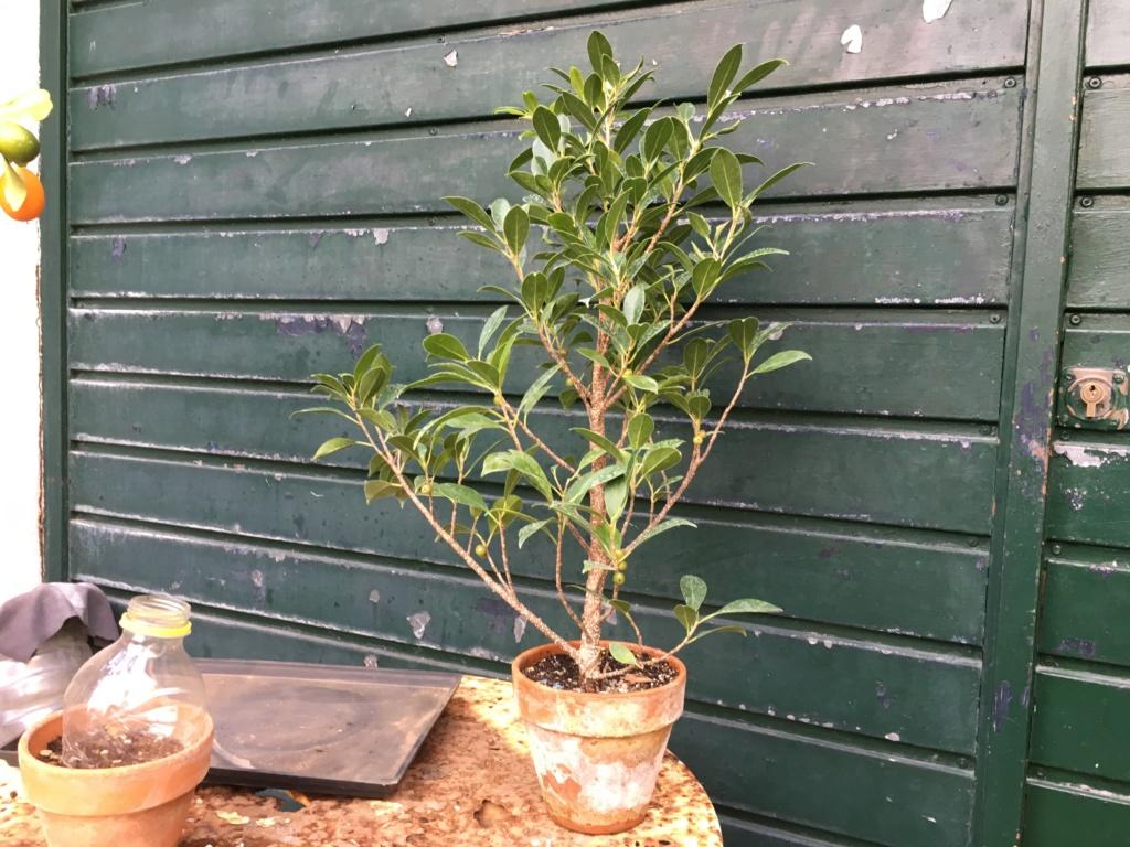 Ficus Retusa Microcarpa, ficus tiger bark - Página 4 Img_0210