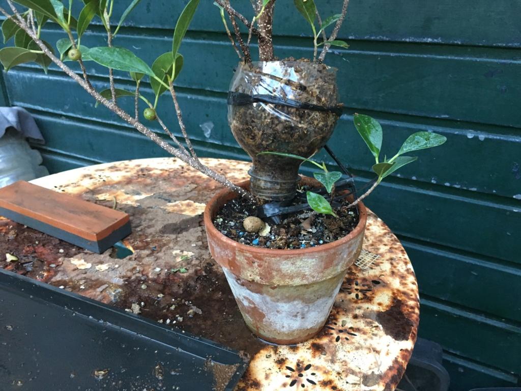 Ficus Retusa Microcarpa, ficus tiger bark - Página 4 Img_0311