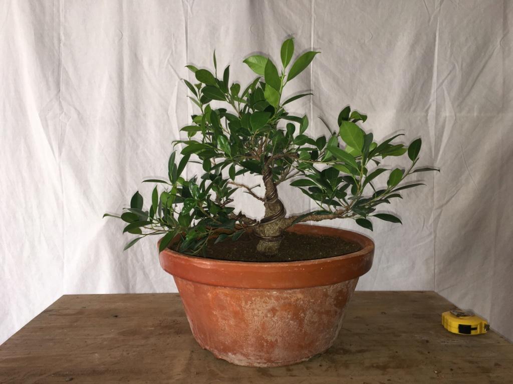 Ficus Retusa Microcarpa, ficus tiger bark - Página 4 Img_0313