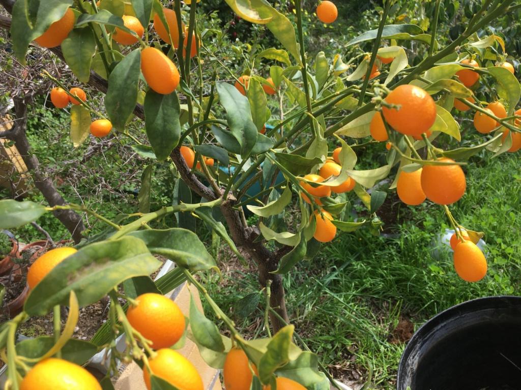Transplante Kumquat Img_1310