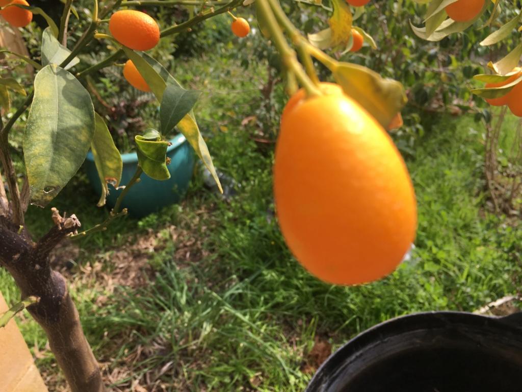 Transplante Kumquat Img_1312