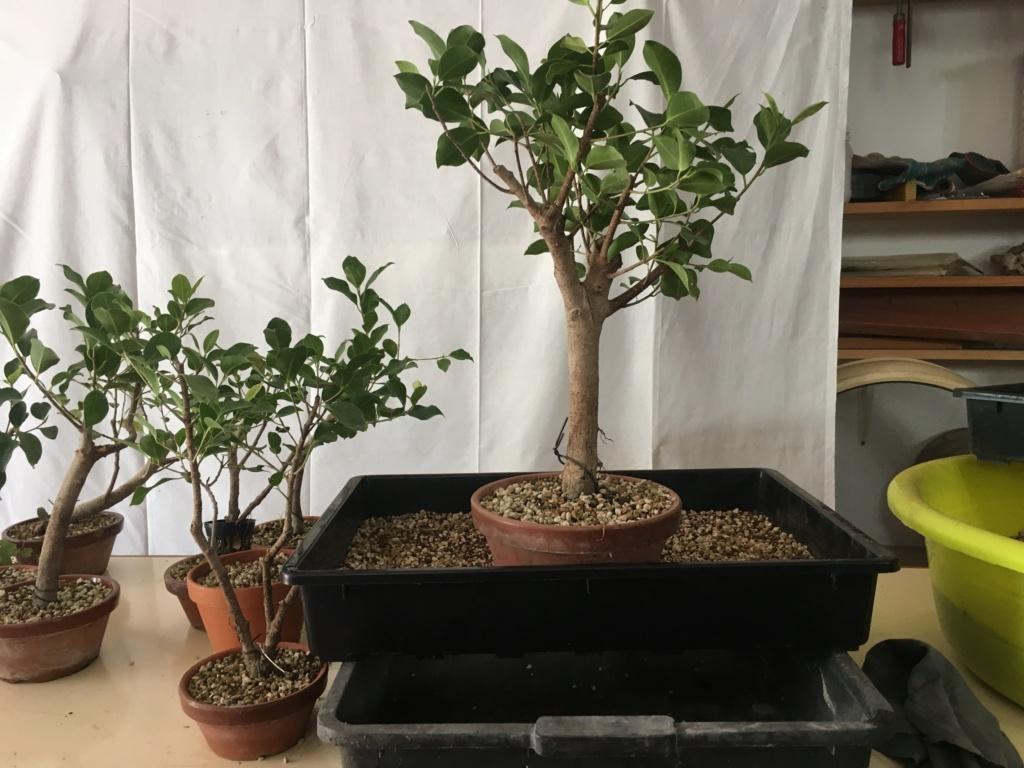 ficus de rama a bosque Img_3822