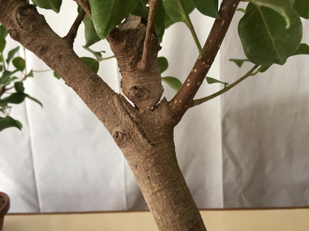 ficus de rama a bosque Img_3825