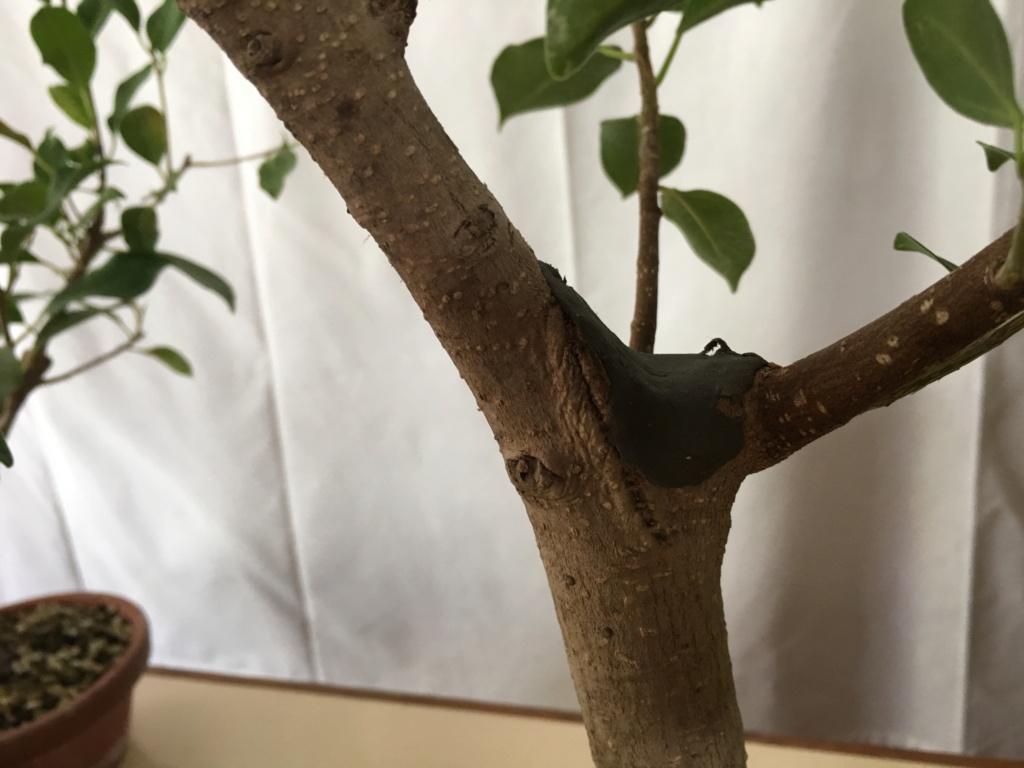 ficus de rama a bosque Img_3826