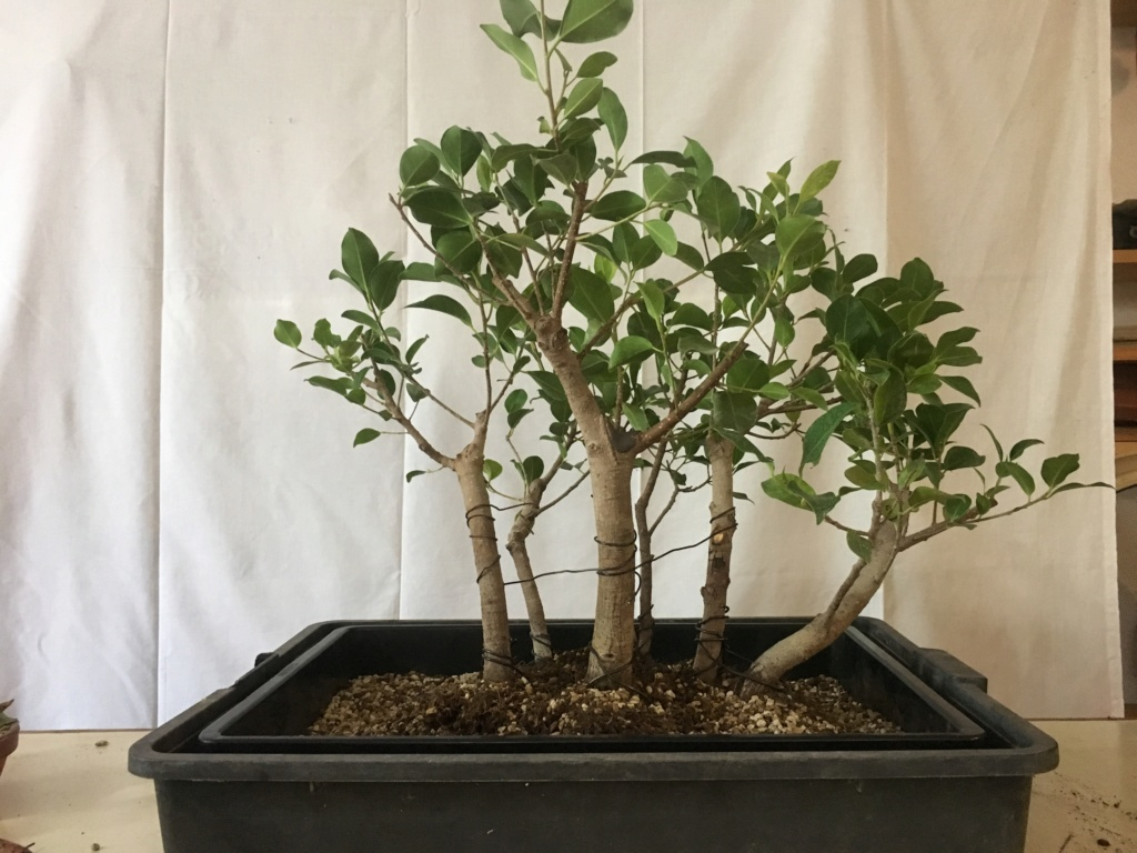 ficus de rama a bosque Img_3830