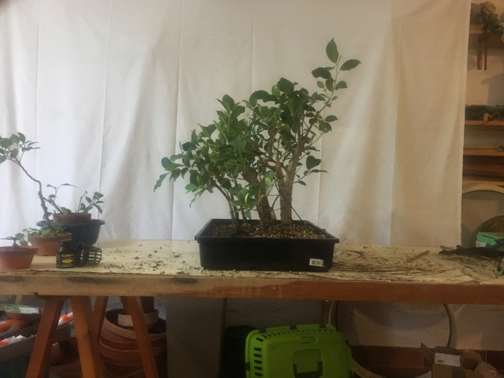 ficus de rama a bosque Img_3833