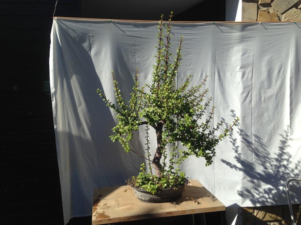 Portulacaria Afra y hojas grandes Img_5610