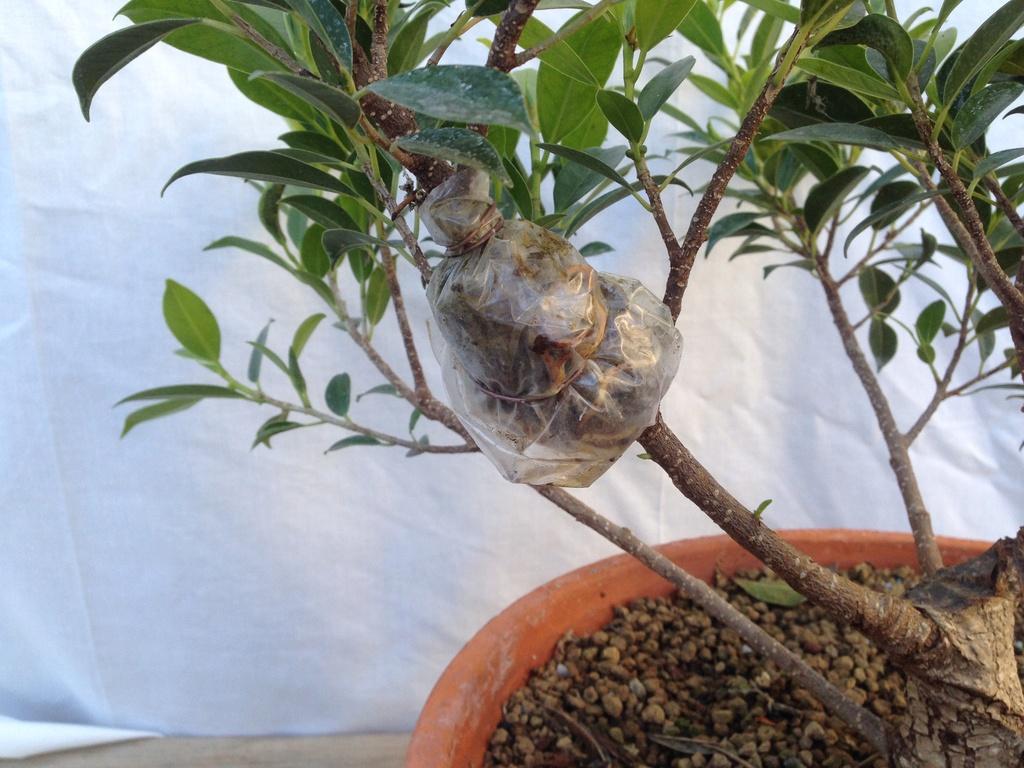 Ficus Retusa Microcarpa, ficus tiger bark - Página 2 Img_7115