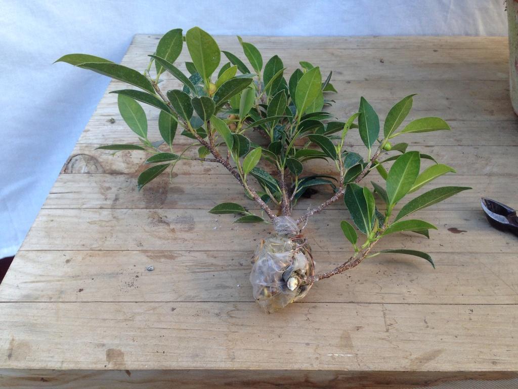 Ficus Retusa Microcarpa, ficus tiger bark - Página 2 Img_7116