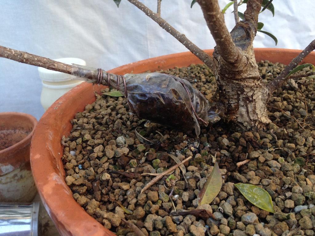 Ficus Retusa Microcarpa, ficus tiger bark - Página 2 Img_7121