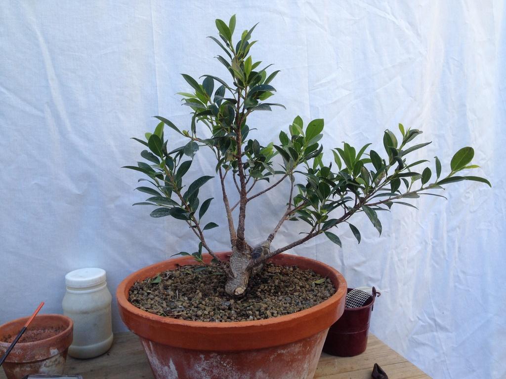 Ficus Retusa Microcarpa, ficus tiger bark - Página 2 Img_7122