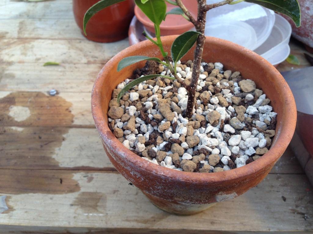 Ficus Retusa Microcarpa, ficus tiger bark - Página 2 Img_7132